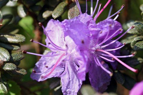 Rhododendron 'Moerheim' - Rhododendron impeditum 'Moerheim'