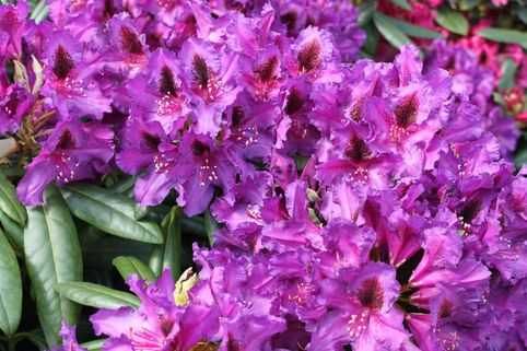 Rhododendron 'Mogambo' - Rhododendron Hybride 'Mogambo'