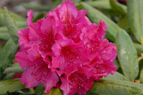Rhododendron 'Mrs.P.den Ouden' - Rhododendron Hybride 'Mrs. P. den Ouden'