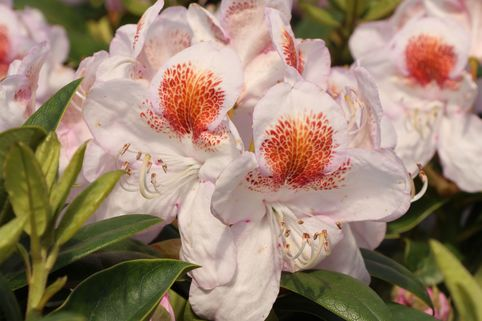 Rhododendron 'Mrs.T.H.Lowinsky' - Rhododendron Hybride 'Mrs. T. H. Lowinsky'