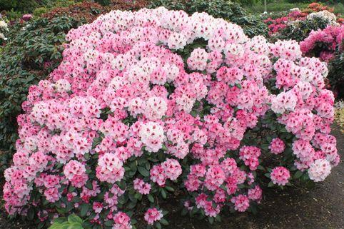 Rhododendron 'Nicoletta' (S) - Rhododendron yakushimanum 'Nicoletta' (S)
