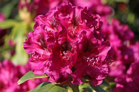 Rhododendron 'Olin O.Dobbs' - Rhododendron Hybride 'Olin O. Dobbs'