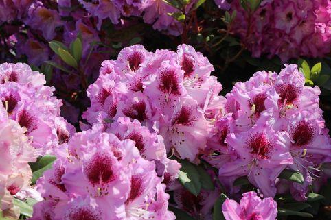 Rhododendron 'Pfauenauge' ® - Rhododendron Hybride 'Pfauenauge' ®