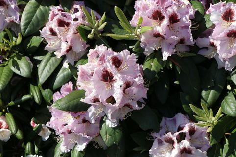 Rhododendron 'Pinguin' - Rhododendron Hybride 'Pinguin'