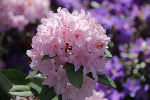 Rhododendron 'Pink Pompon' - Rhododendron racemosum 'Pink Pompon'