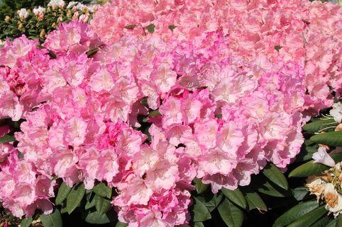 Rhododendron 'Polaris' - Rhododendron yakushimanum 'Polaris'