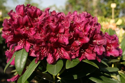 Rhododendron 'Polarnacht' - Rhododendron Hybride 'Polarnacht'