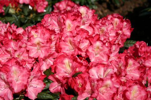 Rhododendron 'Priscilla' - Rhododendron yakushimanum 'Priscilla'