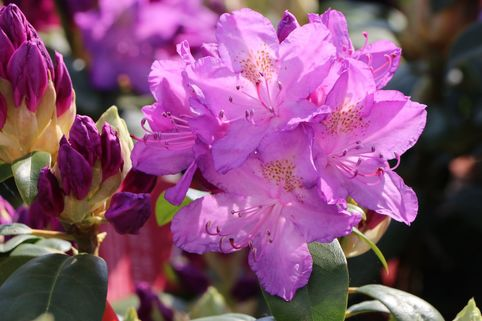 Rhododendron 'Purpureum Grandiflorum' - Rhododendron Hybride 'Purpureum Grandiflorum'