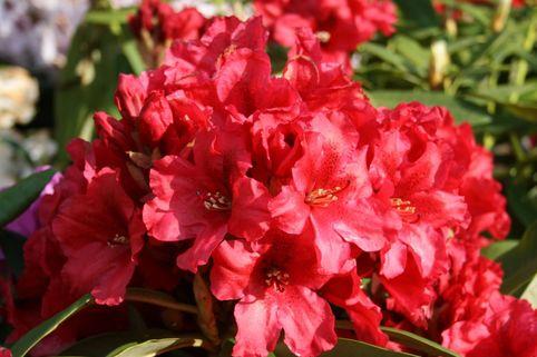Rhododendron 'Rabatz' ® - Rhododendron Hybride 'Rabatz' ®