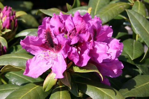 Rhododendron 'Rasputin' - Rhododendron Hybride 'Rasputin'