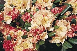 Rhododendron 'Rimini' - Rhododendron Hybride 'Rimini'