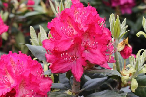 Rhododendron 'Rosabella' - Rhododendron Hybride 'Rosabella'