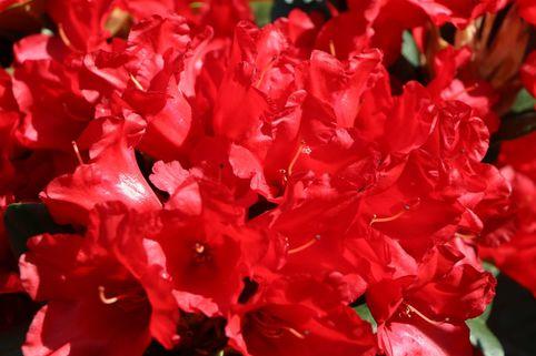 Rhododendron 'Rotkäppchen' - Rhododendron repens 'Rotkäppchen'