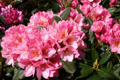Rhododendron 'Saltarello' - Rhododendron Hybride 'Saltarello'