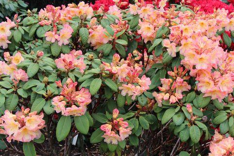 Rhododendron 'Santorina' - Rhododendron Hybride 'Santorina'
