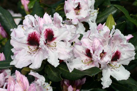 Rhododendron 'Sapporo' (S) - Rhododendron Hybride 'Sapporo' (S)