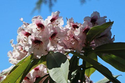 Rhododendron 'Sarastro' - Rhododendron calophytum 'Sarastro'