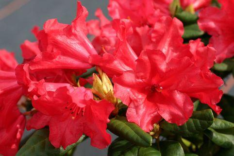 Rhododendron 'Scarlet Wonder' - Rhododendron repens 'Scarlet Wonder'