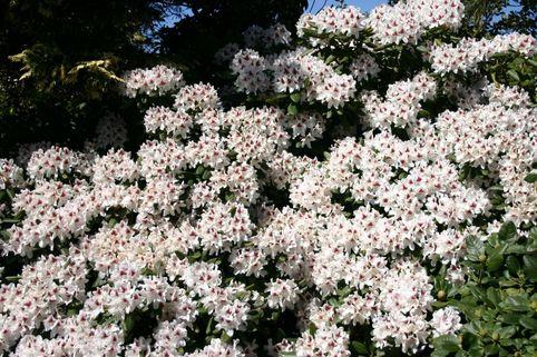 Rhododendron 'Schneeauge' - Rhododendron Hybride 'Schneeauge'