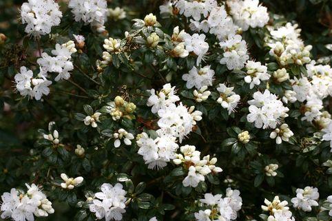 Rhododendron 'Schneeflöckchen' - Rhododendron trichostomum 'Schneeflöckchen'
