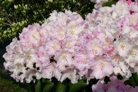Rhododendron 'Schneekrone' - Rhododendron yakushimanum 'Schneekrone'