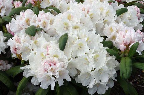 Rhododendron 'Schwanensee' - Rhododendron yakushimanum 'Schwanensee'