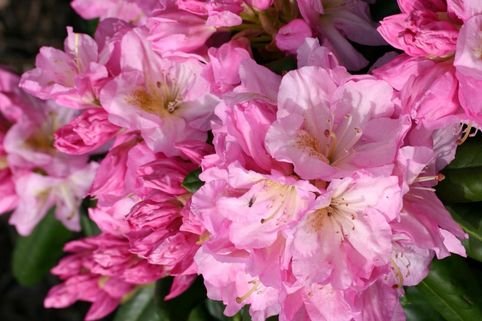 Rhododendron 'Scintillation' - Rhododendron Hybride 'Scintillation'
