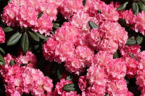 Rhododendron 'Sonatine' - Rhododendron yakushimanum 'Sonatine'