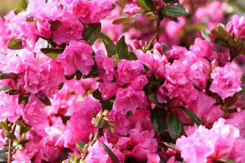 Rhododendron 'Staccato' - Rhododendron dauricum 'Staccato'