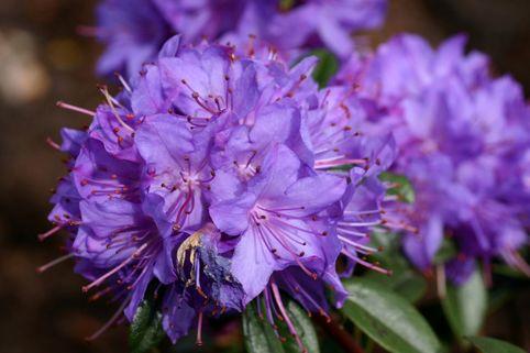 Rhododendron 'Statuette' - Rhododendron augustinii 'Statuette'