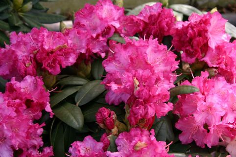 Rhododendron 'Tatjana' - Rhododendron yakushimanum 'Tatjana'