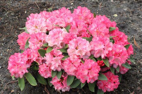 Rhododendron 'Tina Heinje' - Rhododendron yakushimanum 'Tina Heinje'