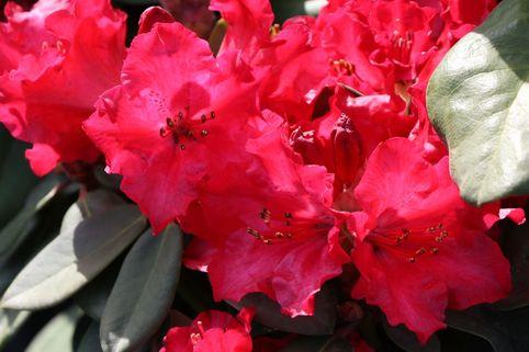 Rhododendron 'Tromba' - Rhododendron williamsianum 'Tromba'