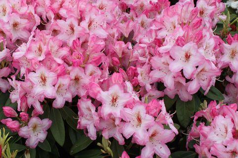 Rhododendron 'Ulrike Jost' - Rhododendron Hybride 'Ulrike Jost'