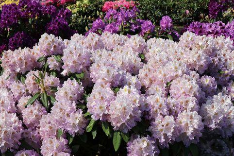 Rhododendron 'Virginia Delp' - Rhododendron Hybride 'Virginia Delp'