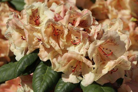 Rhododendron 'Viscy' - Rhododendron Hybride 'Viscy'