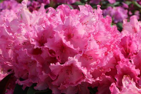 Rhododendron 'Walküre' ® - Rhododendron Hybride 'Walküre' ®