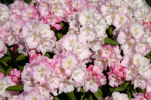 Rhododendron 'Yours Truly' - Rhododendron yakushimanum 'Yours Truly'