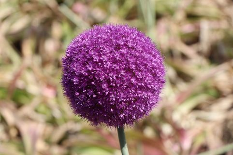 Riesen-Lauch - Allium giganteum