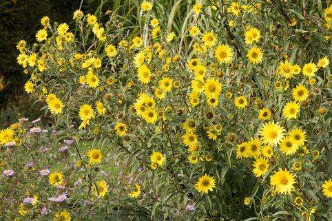 Riesen-Sonnenblume 'Simon Wiesenthal' - Helianthus giganteus 'Simon Wiesenthal'