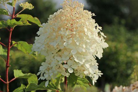Rispenhortensie 'Bombshell' ® - Hydrangea paniculata 'Bombshell' ®