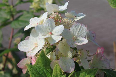 Rispenhortensie 'Dart's Little Dot' - Hydrangea paniculata 'Dart's Little Dot'