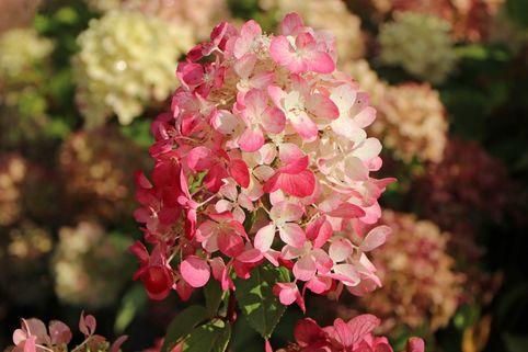 Rispenhortensie 'Diamant Rouge' ® - Hydrangea paniculata 'Diamant Rouge' ®