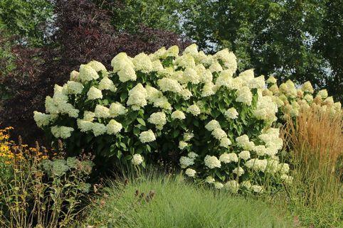 Rispenhortensie 'Grandiflora' - Hydrangea paniculata 'Grandiflora'