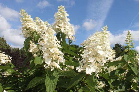 Rispenhortensie 'Kyushu' - Hydrangea paniculata 'Kyushu'