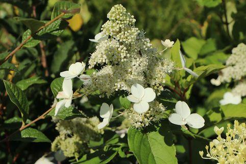Rispenhortensie 'Levana' (S) - Hydrangea paniculata 'Levana' (S)