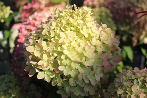 Zwerg-Rispenhortensie 'Little Lime' ® - Hydrangea paniculata 'Little Lime' ®