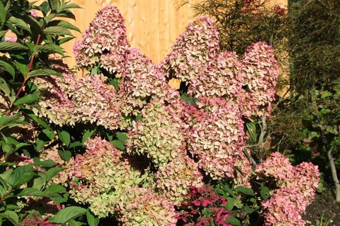 Rispenhortensie 'Magical Candle' ® - Hydrangea paniculata 'Magical Candle' ®