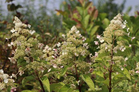 Rispenhortensie 'Magical Himalaya' ® - Hydrangea paniculata 'Magical Himalaya' ®